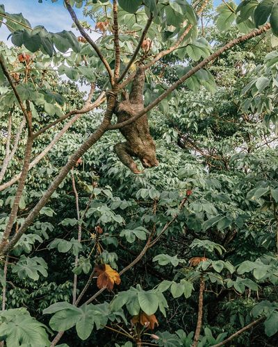 Lazy days... Wildlife Wild Sloth Plant Growth Tree Beauty In Nature Nature Plant Part Leaf No People Tranquility Branch Outdoors Botany Sunlight