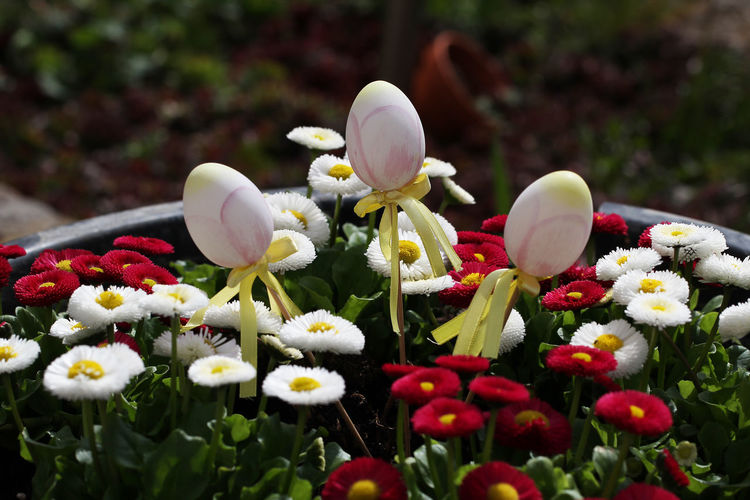 Flowering Plant Flower Plant Freshness Vulnerability  Fragility Beauty In Nature Growth Petal Nature White Color Flower Head Close-up Day Inflorescence No People Selective Focus Multi Colored Outdoors Botany Easter Egg Holiday Kultur Religion