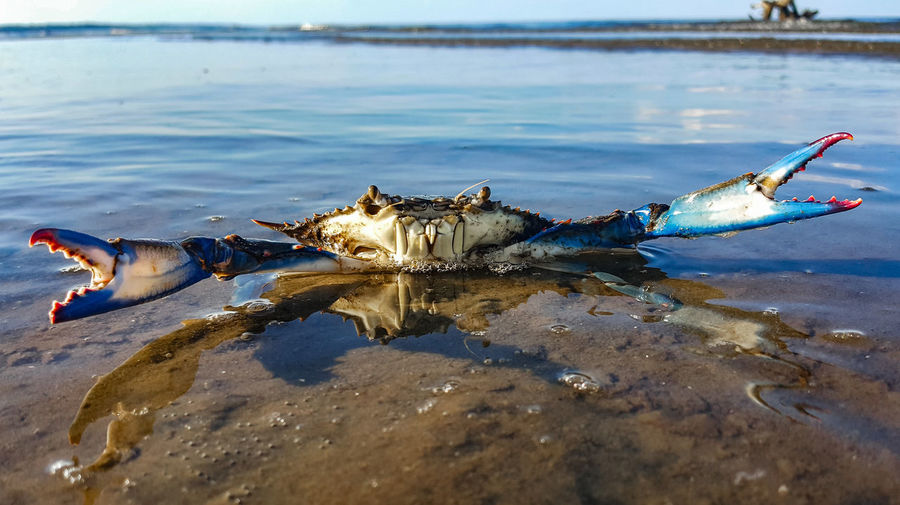 Close-Up Of Blue Crab On Shore