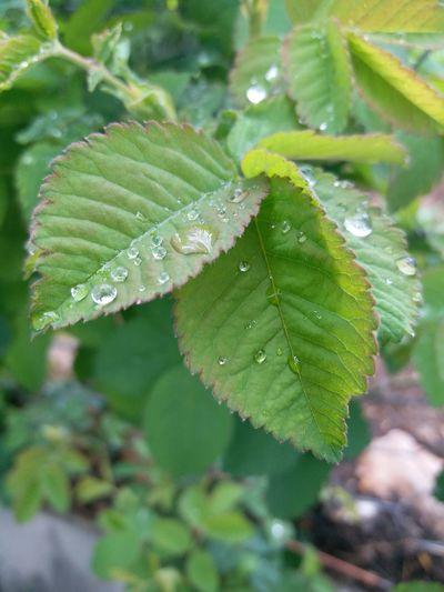 Yeşillik 👟 Huzur♥ Yayla Love ♥ Ilkbahar Tazelik🍃 Water Leaf Drop Branch Cold Temperature Close-up Animal Themes Plant Green Color RainDrop Pine Tree Rain Rainfall