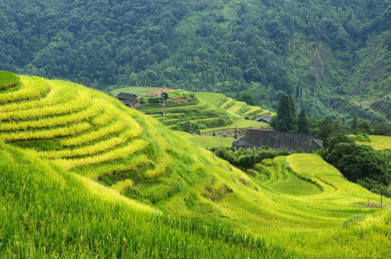 Scenic view of rice paddy field