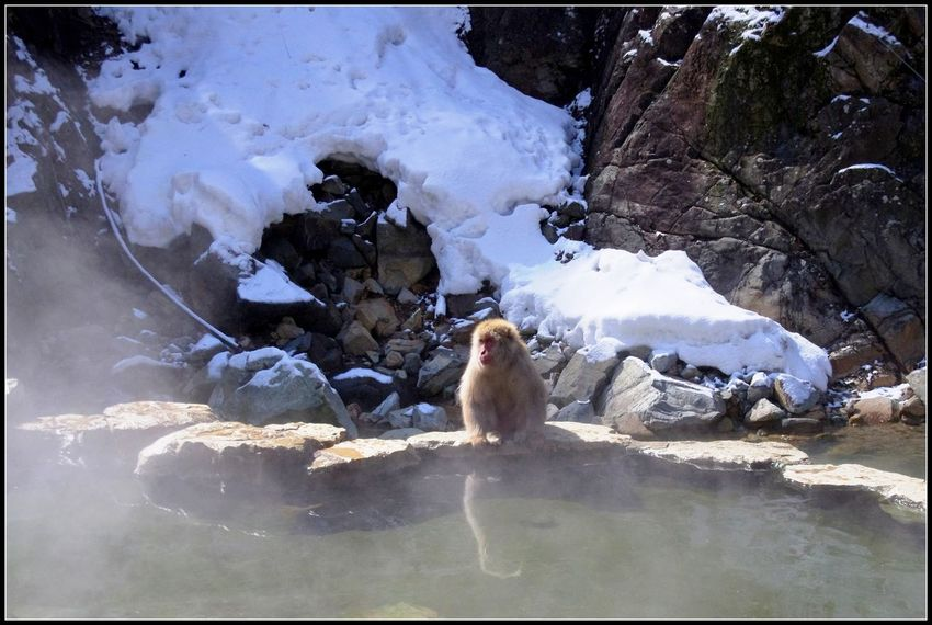 Hot Springs Japan Photography Jigokudani Yaenkoen Park Winter Amazing_captures Beauty In Nature Experiences Hot Spring Japanese Macaque Macaca Fuscata Nagano Nature Nature_collection Outdoors Snow Snow Monkeys Travel Destinations