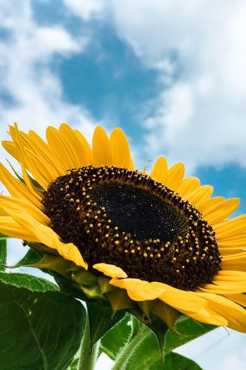 Flower Petal Fragility Sunflower Beauty In Nature Freshness Nature Yellow Growth Flower Head Pollen Outdoors Plant No People Leaf Close-up Day Blooming Sky