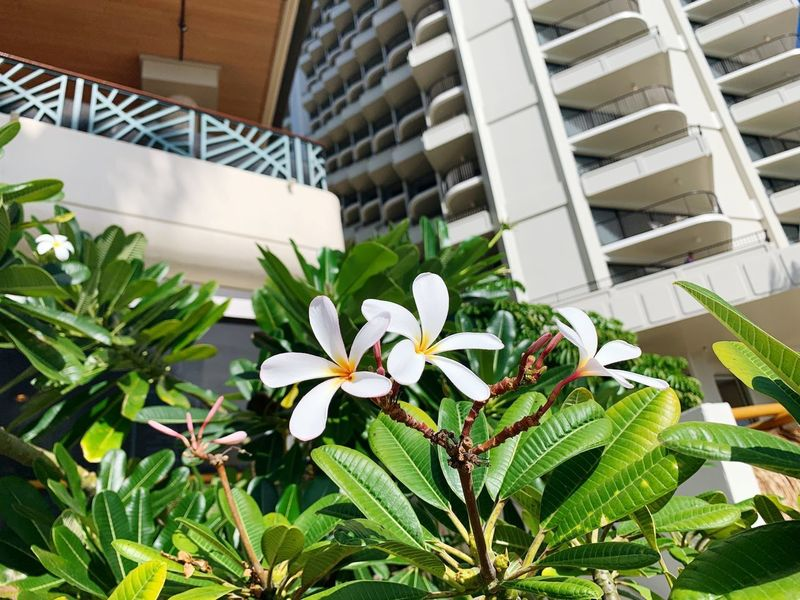 Hawaii Hawaii Pulmeria Plant Growth Architecture Flower Flowering Plant Built Structure Leaf