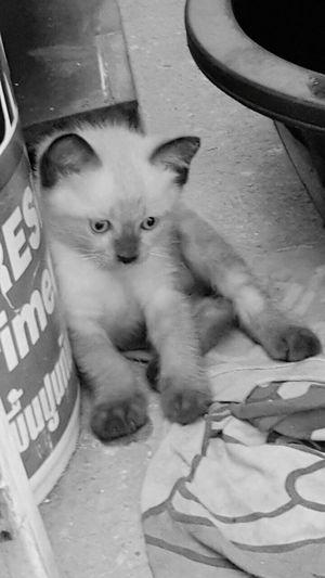 Rip Silver Cat Love Cat