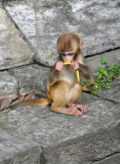 Young monkey eating banana peel by temple