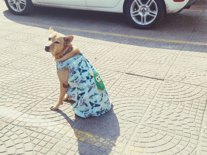 Cold day Freezing Dog Blanket Thai Street Dog Warm Up Cool Dog Sitting On Street Smile Look At  Happy Afternoon Chill Dog Thai Dog Ratchadapisek Spotted In Thailand The Street Photographer - 2016 EyeEm Awards