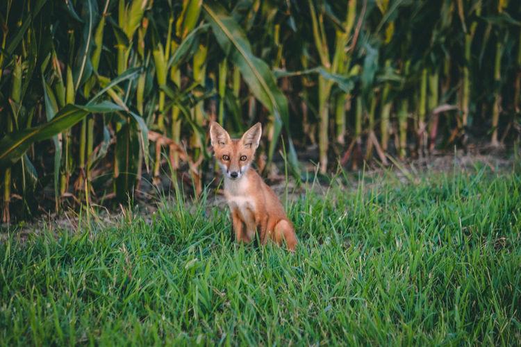 Portrait of a fox on field