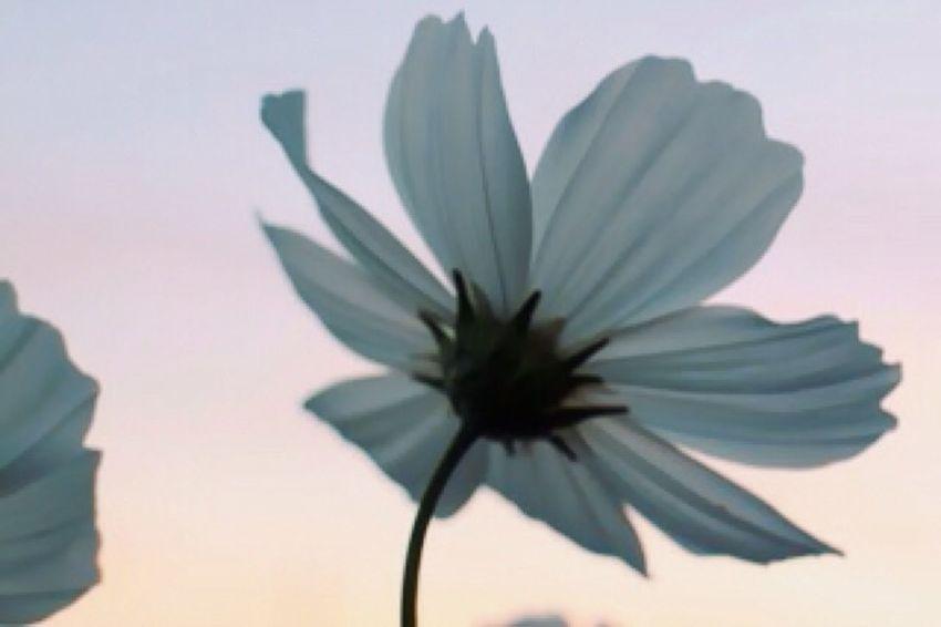 Relaxing Relaxing Flower 花 夕焼け 秋桜 コスモス 夕焼けに身体を染めて。