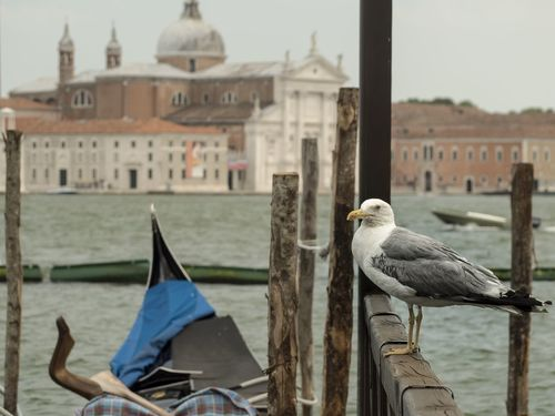 EyeEm Selects Bird Travel Destinations Outdoors Architecture Focus On Foreground Gondola - Traditional Boat Animal Wildlife Animals In The Wild Water Nautical Vessel Close-up Architecture City Omd Em5 Mark Ii Olympus EyeEm Best Shots Venedig Venice Sanmarco Molo Gabbiano Seagull