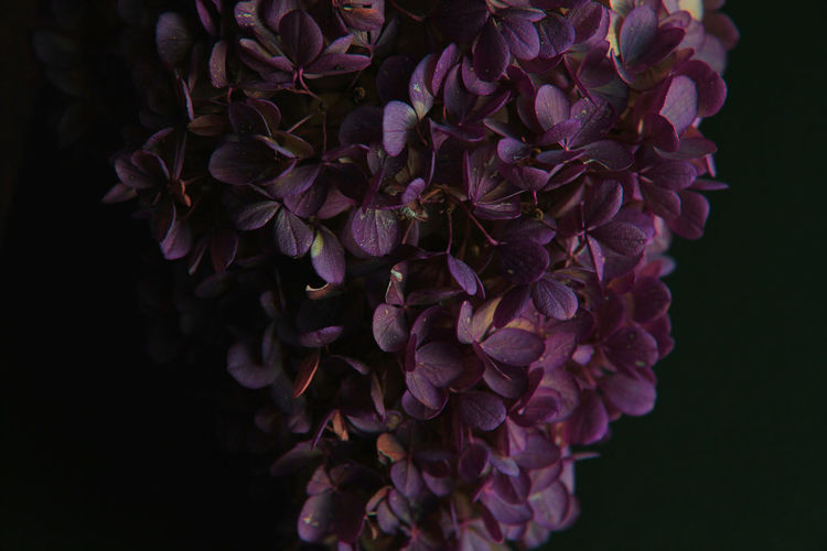Flowering Plant Petal Flower Vulnerability  Fragility Beauty In Nature Close-up Plant Flower Head Freshness Studio Shot Inflorescence Purple Nature Growth No People Indoors  Black Background Botany Flower Arrangement Autumn Autumn Mood Hydrangea Bunch Of Flowers