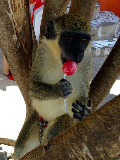 Filipe 🐒 Cap Vert Domestic Animals Experience Cabo Verde Origine Cultures Taking Photos Magic Hello World Animals Monkey Singe Journey 🍃