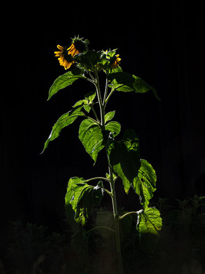 Close-up of plant against black background