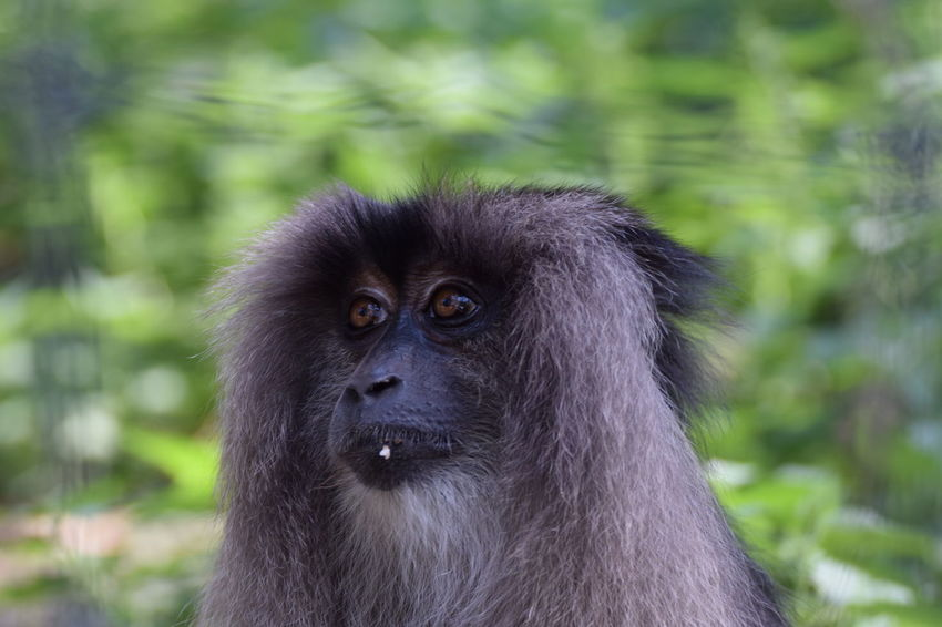 Lion-tailed macaque (Macaca silenus) EyeEm Best Shots EyeEmNewHere Lion-tailed Macaque Macaca Silenus Animal Animal Head  Animal Themes Animal Wildlife Animals In The Wild Ape Day Focus On Foreground Land Mammal Monkey Nature No People One Animal Outdoors Portrait Primate Rainforest Vertebrate