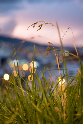 City Lights Beauty In Nature Blade Of Grass Bokeh Close-up Day Field Flower Flowering Plant Fragility Freshness Grass Green Color Growth Land Nature No People Outdoors Plant Selective Focus Sky Sunset Tranquility Vulnerability  Capture Tomorrow