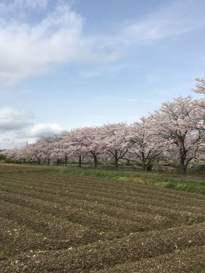 Tree Sky Nature Beauty In Nature Growth Cloud - Sky Field Landscape Scenics Tranquility Rural Scene Tranquil Scene Outdoors Blossom Day No People Agriculture Flower Sakura Make You Coffee