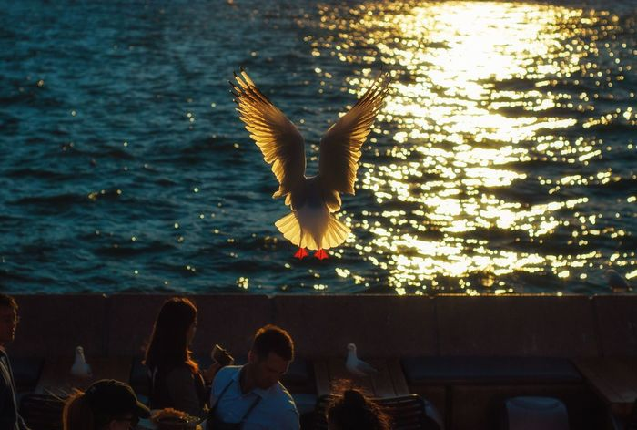 Seagull Spread Wings Dramatic Lighting Dusk Sunset Sunset Silhouettes Transparent Wings Real People Sea Seaside Water Bird Flying Circular Quay Sydney Opera House Sydney Harbour Bridge First Eyeem Photo EyeEmNewHere The Week On EyeEm Paint The Town Yellow