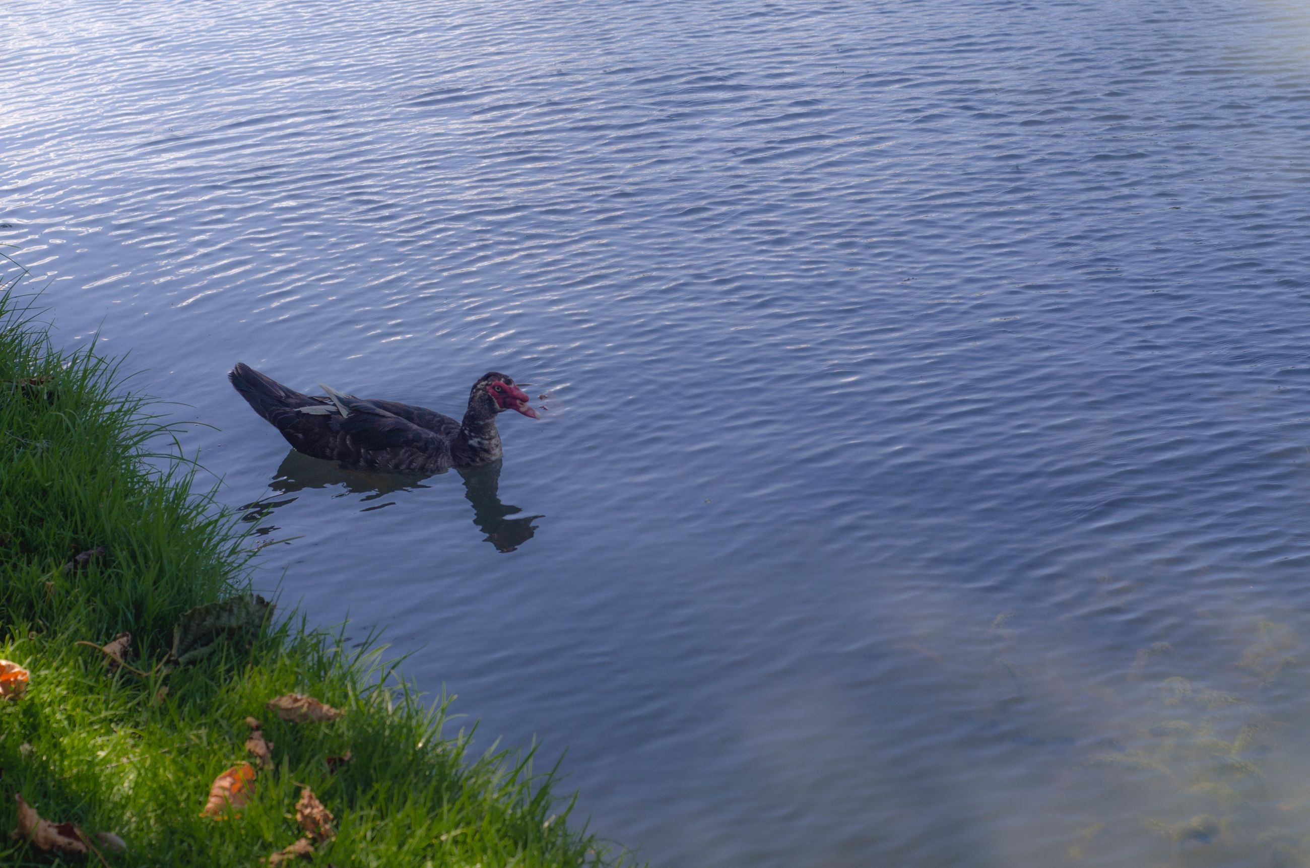 water, lake, bird, animal themes, high angle view, swimming, animals in the wild, nature, rippled, duck, full length, waterfront, reflection, wildlife, one animal, tranquility, outdoors, beauty in nature