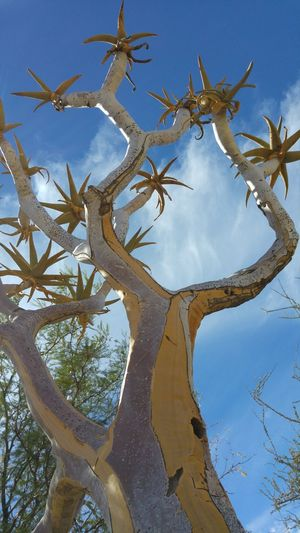 Namibia Quivertree  Outdoors Nature Clear Sky Beauty In Nature