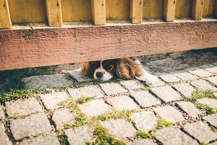 Portrait of dog lying on cobblestone