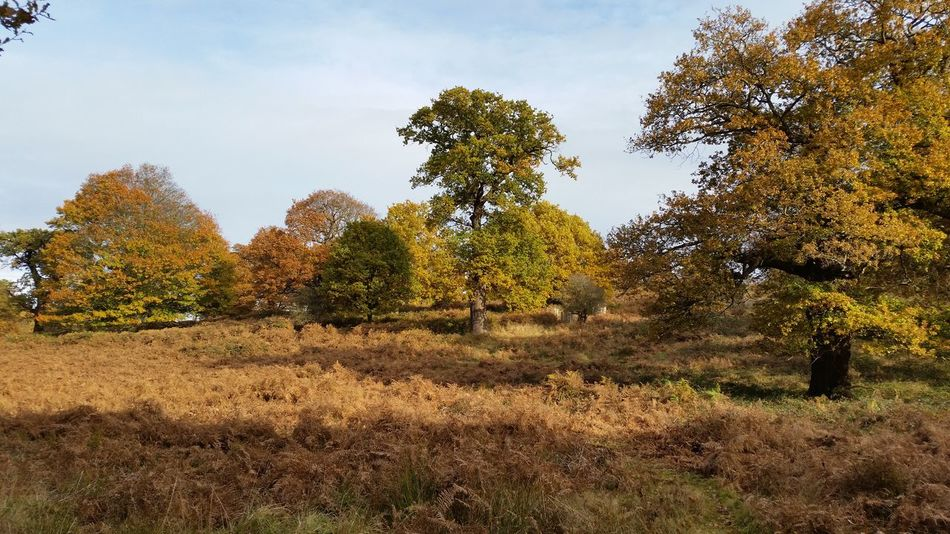 Beauty In Nature Outdoors Tree Sky No People Growth Nature Day Autumn 2016 Autumn🍁🍁🍁 Cloud - Sky England🇬🇧 London Richmond Autumn Colors Landscape Nature Richmond Park, London Growth Beauty In Nature Tree Tranquility Colourful