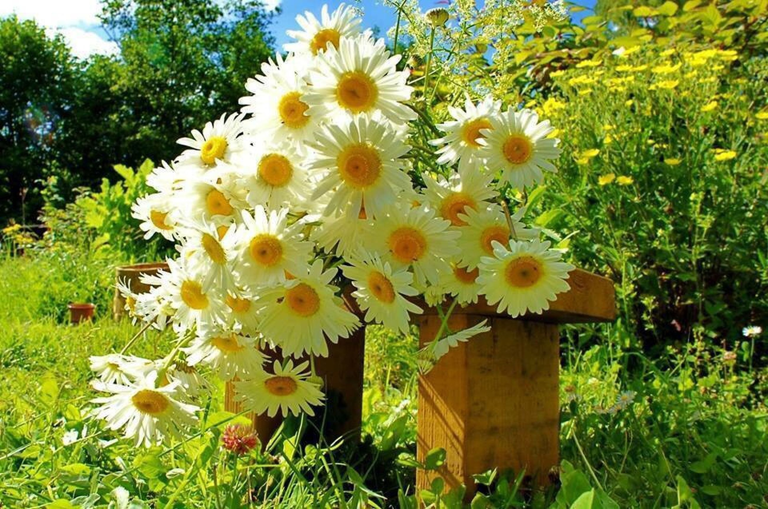 flower, freshness, growth, fragility, petal, beauty in nature, blooming, flower head, yellow, nature, plant, field, in bloom, green color, blossom, white color, park - man made space, day, close-up, outdoors
