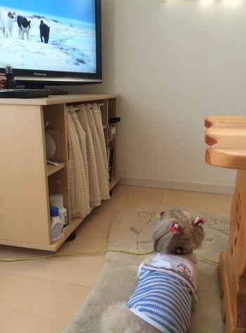 Dog Cute♡ ShiTzuForever🐶 Shitzulove DogLove 岩合光昭さんの世界ネコ歩きを見入る、うちのべるるん。