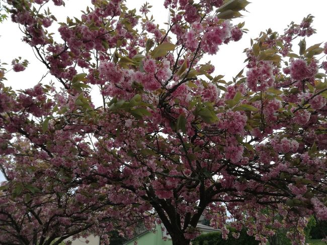 Nature Nature_collection Natural Beauty Naturelovers Nature_perfection Sakura Blossom Cerisier En Fleurs Cerisier Fleuris Fleurs Roses Flower Collection Flowers,Plants & Garden Flowerpower Floral