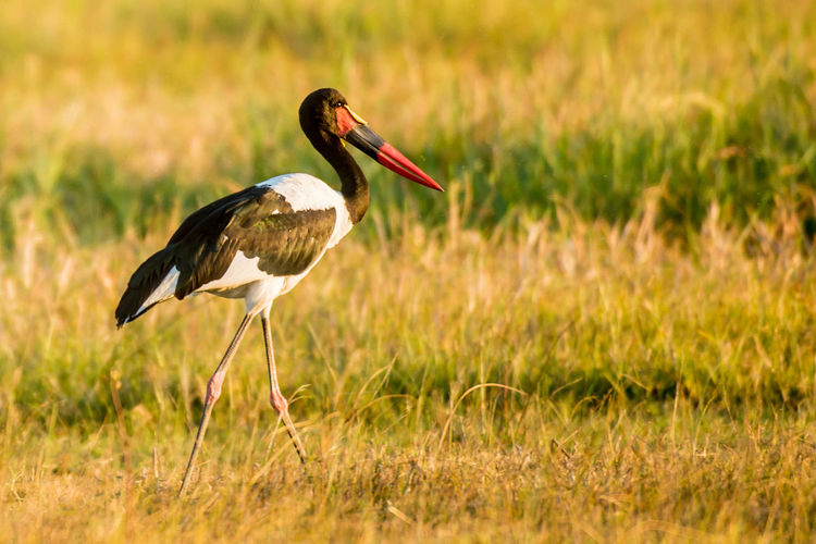Animal Themes Animal Wildlife Animals In The Wild Beauty In Nature Bird Crane - Bird Day Grass Nature No People One Animal Outdoors Perching Saddled Billed Stork White Stork
