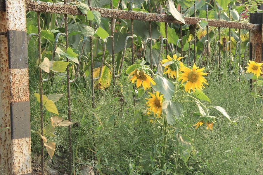 向日葵の径