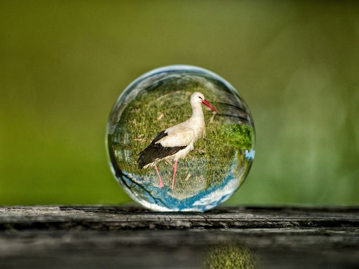 Creative Photography Creativity Crystal Ball EyeEm Best Shots EyeEmNewHere Form Reflection Sphere White Stork Animal Animal Themes Animals In The Wild Ball Bird Bubble Close-up Crystal Crystalball Day Ecology Environment Glass Glass - Material Globe Green Color Lifestyles Nature No People One Animal Outdoors Planet Reflection Selective Focus Sphere Still Life Stork Transparent Vertebrate Water Wildlife Wood - Material Visual Creativity