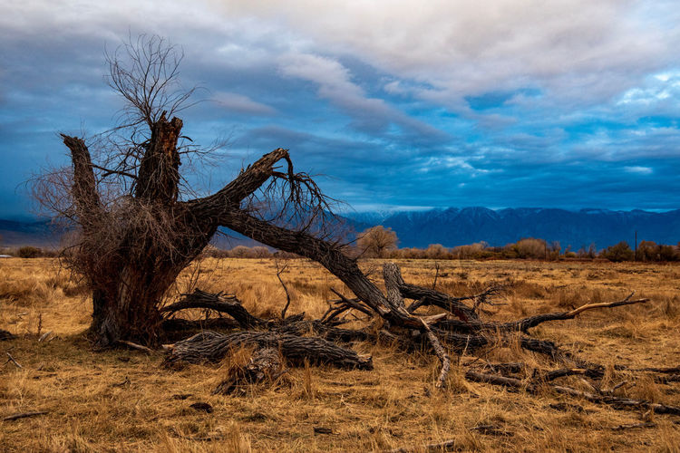 Bare decaying tree on field with sunrise clouds and mountain range against sky