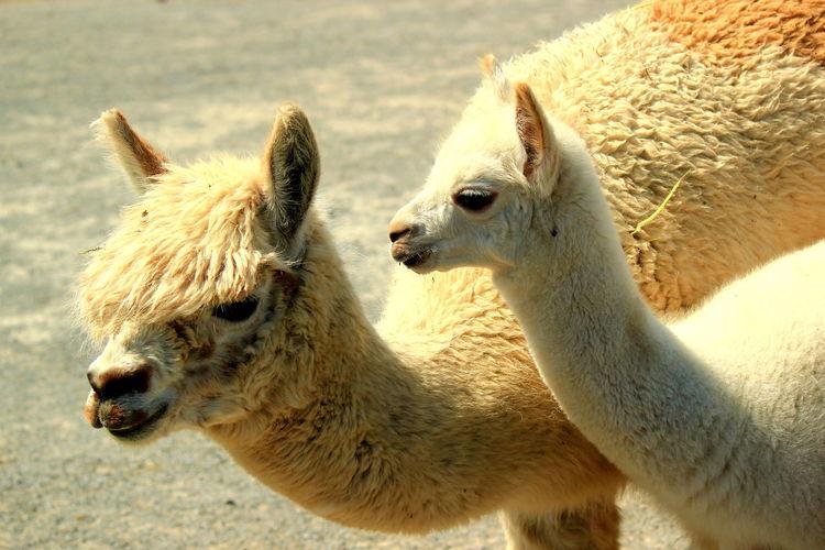 Portrait Of Two Lamas