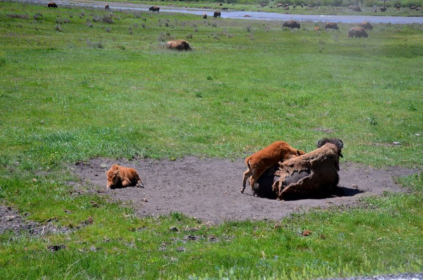 American Bison American Tourism Destinat Animal Themes Animal Wildlife Animals In The Wild Baby Bison Bison Playing Together Hiking Adventures Outdoor Adventures Parenthood Travel Photography Wyoming Yellowstone National Park The Great Outdoors - 2017 EyeEm Awards