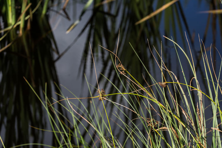 Close-up of grass by lake
