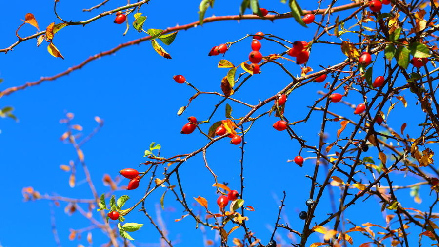 Low angle view of orange tree against blue sky
