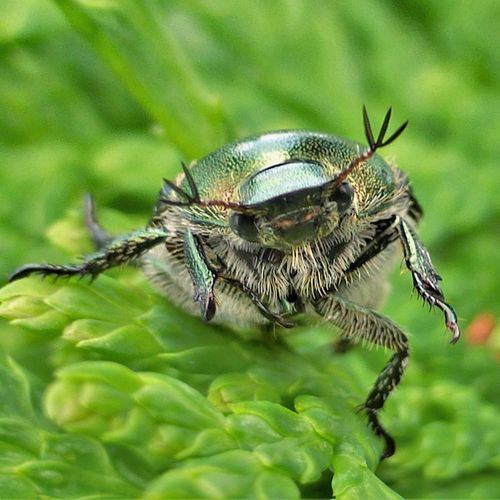 Japanese Beetle Animals In The Wild One Animal Animal Themes Insect Close-up No People Outdoors Nature Day Green Color