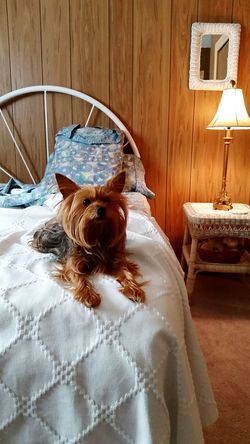 another good morning, Miss Molly Good Morning Pets Corner Bedroom Bedding Bed Small Dog Yorkshire Terrier Yorkie Terrier Cute Puppy Dogs Cute Dog  Cute Pets Puppy Home Is Where The Art Is Dog In Bed Dog In Bed Domestic Animals Animal Themes One Animal Pets Indoors  No People
