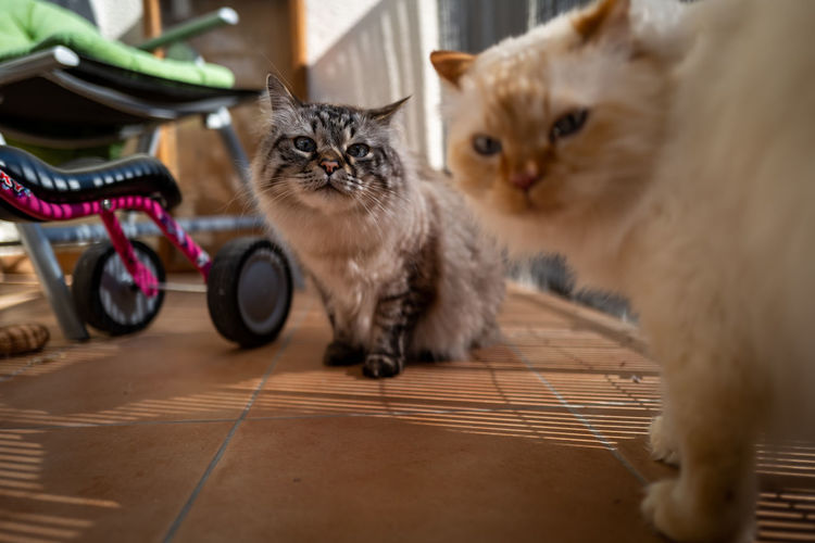 Birman Cat Domestic Pets Domestic Animals Domestic Cat Cat Animal Themes Mammal Feline Animal Group Of Animals Flooring Whisker No People Vertebrate Indoors  Portrait Two Animals Looking At Camera Home Interior Kitten Persian Cat  Birman Cat