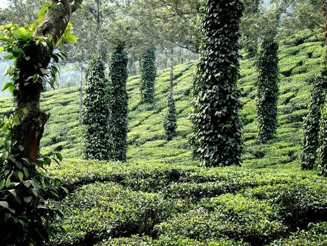 Growth Nature Day Green Color No People Tree Outdoors Beauty In Nature Freshness Plant Shades Of Nature Food Food And Drink ShadesOfCool Farming Greenary Farm Life Travel Destinations Green Background Green Trees Green Color Teaestate Plantation Backgrounds EyEmNewHere Food Stories