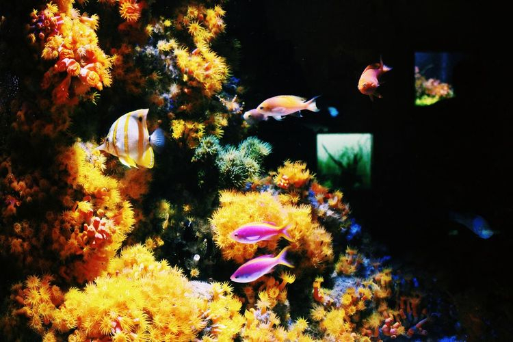 Looking for Nemo Underwater Sea Life Fish Soft Coral No People Nature San Francisco California Bay Area Academy Of Sciences Aquarium Travel Coral UnderSea Sea Swimming Animal Themes Animals In The Wild Beauty In Nature Water