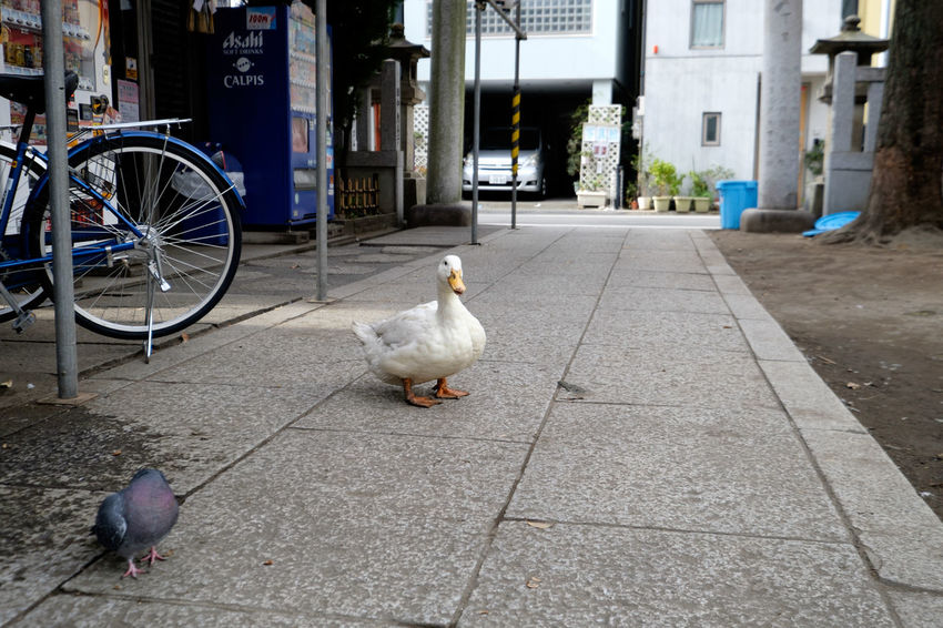 下谷神社 Duck Fujifilm Fujifilm X-E2 Fujifilm_xseries Japan Japan Photography Shitaya Jinja Shrine Shrine Tokyo Ueno Water アヒル 上野 下谷神社 手水舎 東京 狛犬 神社 稲荷町 ペット 鳥 がーちゃん