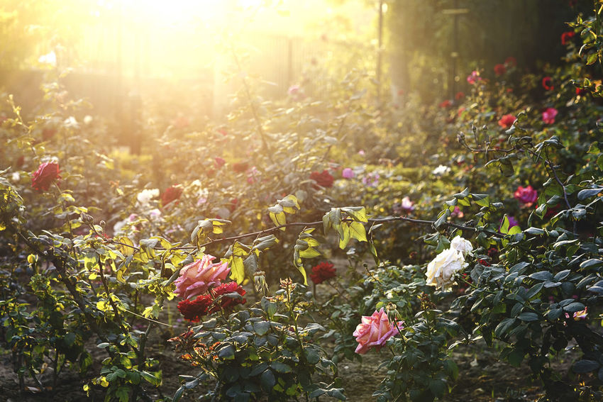 The Magic Garden Nature Sunlight Outdoors Lens Flare No People Sun Beauty In Nature Autumn Plant Environment Summer Forest Flower Sunset Scenics Uncultivated Tranquility Growth Rural Scene Tree