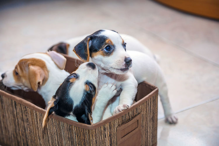 adorable beagles puppies Beagle Adorable Dog