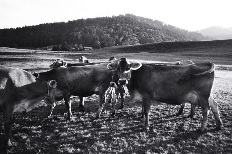 Animal Themes Black And White Cows Domestic Cattle Film Grass Landscape Mountain Nature No People Outdoors Rural Scene Sunset Tranquility Monochrome Photography