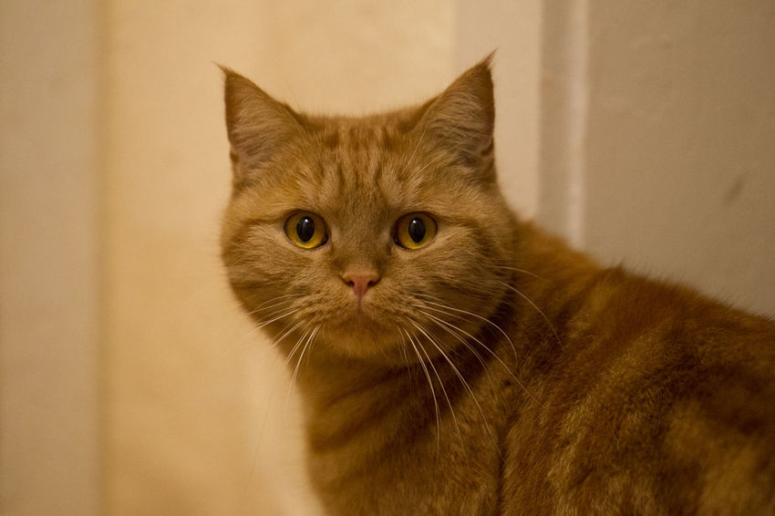 Cat Domestic Feline Domestic Cat Pets Domestic Animals Mammal Animal Animal Themes One Animal Vertebrate Whisker Portrait Looking At Camera Close-up No People Focus On Foreground Indoors  Looking Animal Body Part Animal Head  Animal Eye Ginger Cat Tabby