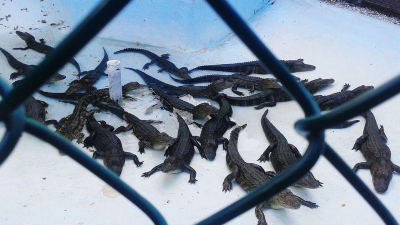 Gators Animals