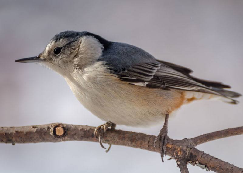 White-Breasted Nuthatch Animal Themes Animals In The Wild Bird Close-up Nuthatch One Animal Outdoors Perching White-breasted Nuthatch