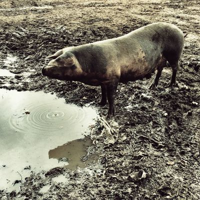 Dirty pig in a muddy field One Animal Animal Themes Outdoors Domestic Animals Water Mammal No People Day Nature