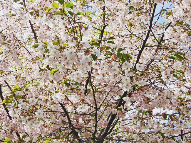 Folowme Flowers Природа дерево красота сакура Вишня
